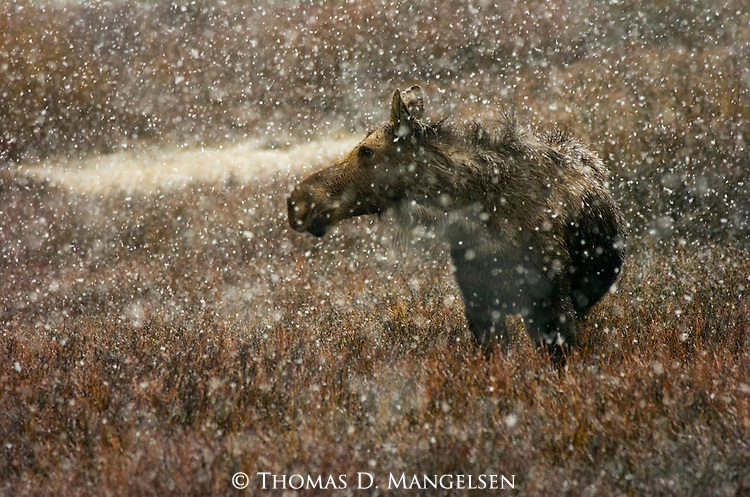 A moose cow stands among willows during an early season snowfall in Grand Teton National Park, Wyoming.