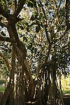 Israel, Judean desert. Ficus bengalensis tree in Kibbutz Ein Gedi by the Dead Sea