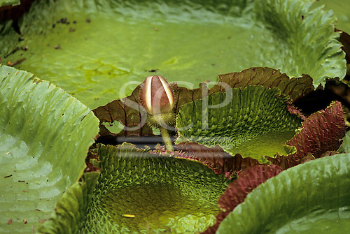 Belem, Brazil. Vitoria Regia (Victoria amazonica); giant lily pads with bud floating on the water. Amazon.