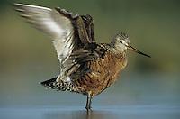 Hudsonian Godwit, Limosa haemastica,adult, Welder Wildlife Refuge, Sinton, Texas, USA