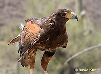 0405-1213  Harris's Hawk, Harris Hawk (Bay-winged Hawk or Dusky Hawk), Parabuteo unicinctus  © David Kuhn/Dwight Kuhn Photography