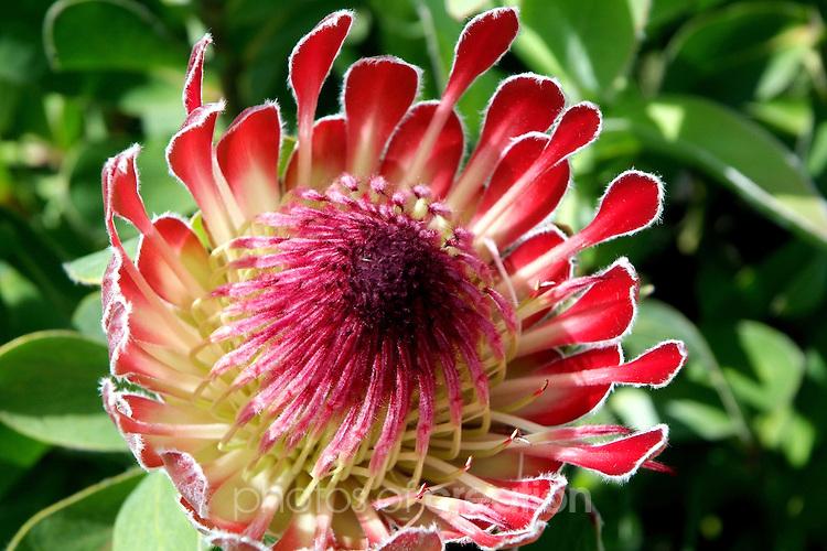 Protea Flower<br />