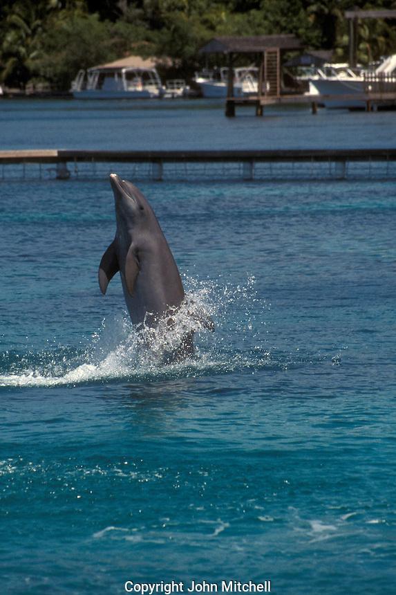 Atlantic Bottlenose dolphin performing at the Institute for Marine Sciences , Anthonys Key Resort , Roatan , Honduras