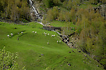 Sheep grazing in field with small mountain stream and bridge. Pitztal, Imst district, Tyrol/Tirol. Austria.