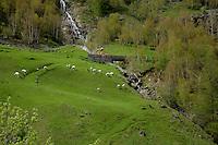 Sheep grazing in field with small mountain stream and bridge. Pitztal, Imst district, Tyrol/Tirol. Austria.