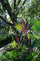 A colorful scene with red and pink ti leaves, palm leaf and a large koa tree along the pathway at Hawaii Tropical Botanical Garden, Papa'ikou (near Hilo), Big Island of Hawaiʻi.