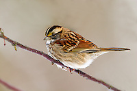 White-throated Sparrow, Zonotrichia, albicollis