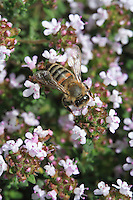 The flowering of thyme in May is unpredictable. A bee rapidly gathers pollen from the multitude of tiny thyme blossoms.