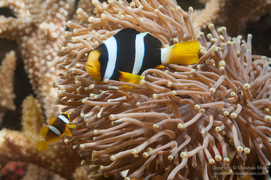 Fahala Giri, Kalhufahalafushi Island, Thaa Atoll, Maldives; Clark's Anemonefish (Amphiprion clarkii) in an tan colored anemone attached to staghorn corals