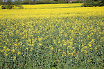 Yellow blossom oil seed rape