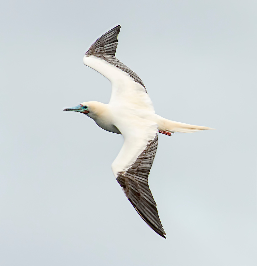 Red-footed booby (Sula sula) photographed in flight at the Kilauea Point National Wildlife Refuge on the island of Kauai, Hawaii