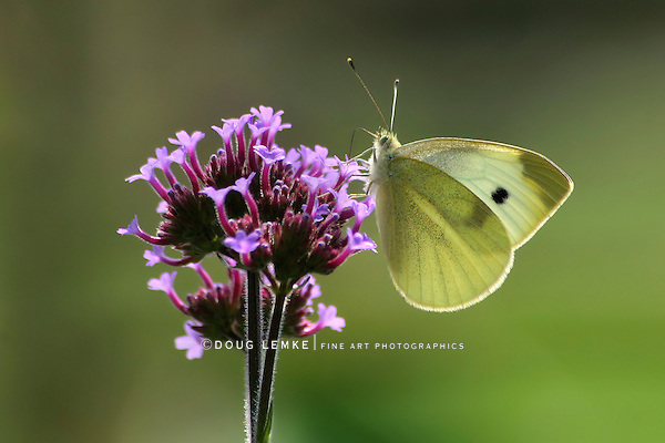 Butterfly, Cabbage White, Pieris rapae, Nectaring On Brazilian Verbena