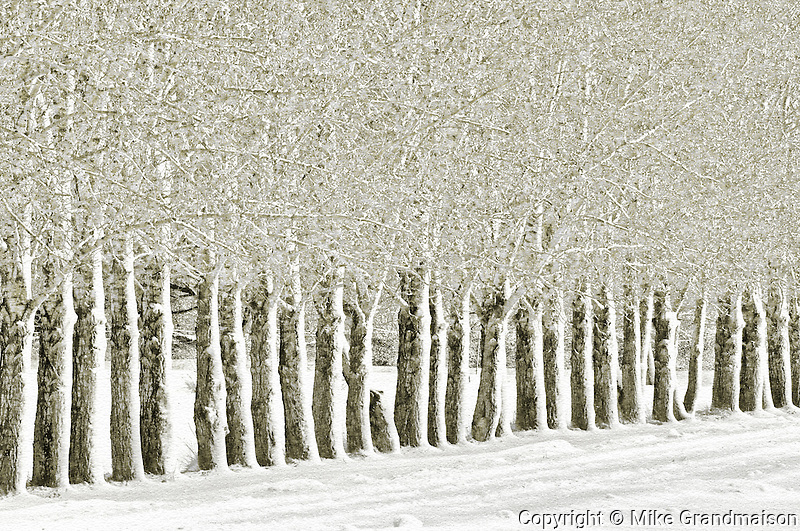 Shelterbelt trees
