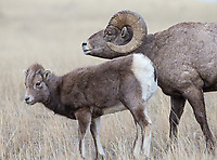Different generations of bighorn sheep stand together.