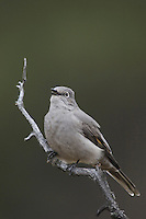 Townsend's Solitaire, Myadestes townsendi, adult singing, Yellowstone NP,Wyoming, USA