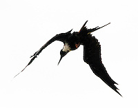 Adult female magnificent frigatebird diving. Note the tiny feet, obviously the frigatebird makes little use of its feet.