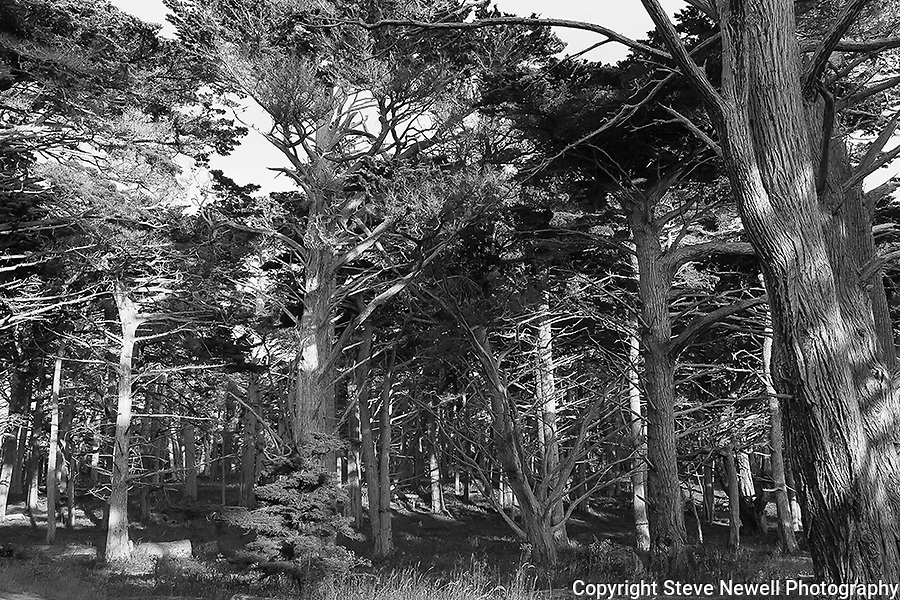 """17 Mile Cypress"" Black and White. 17 Mile Dr in Pebble Beach, California.The Cypress Trees located on 17 Mile Drive in Pebble Beach along the Coast of the Pacific Ocean are impressive to say the least."