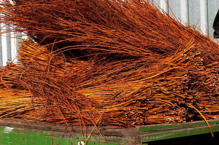 On the back of a truck, bunches of twigs shoots wicker that will be used to tie up the vines after pruning. Vinedos y Bodega Filgueira Winery, Cuchilla Verde, Canelones, Montevideo, Uruguay, South America