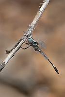 339850006 a wild male slender clubskimmer brechmorhoga praecox perches on a dead stick in sabino canyon pinal county arizona