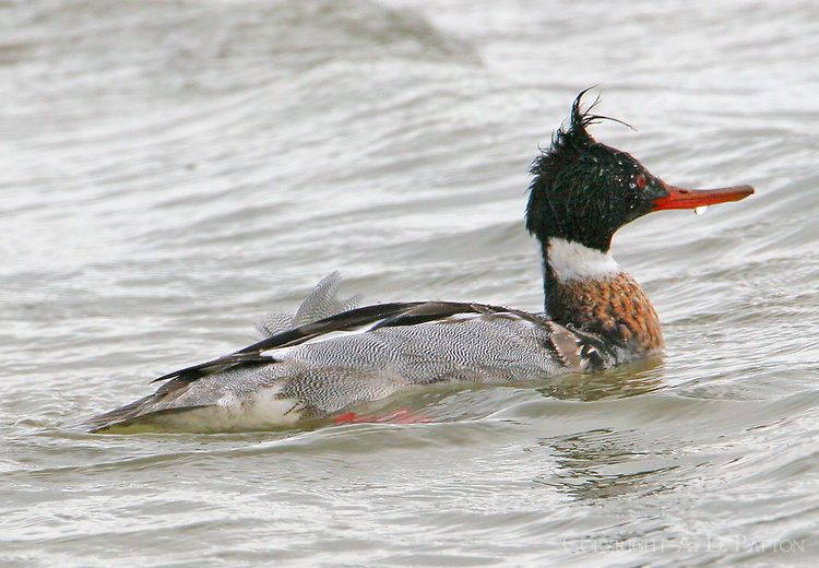Adult male merganser in breeding plumage
