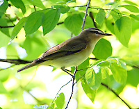 Adult red-eyed vireo