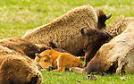 A bison calf takes a nap surrounded the herd in Yellowstone National Park, June 3, 2011. Photo by Gus Curtis.