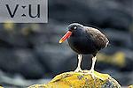 Blackish Oystercatcher (Haematopus ater) Carcas Island, Falkland Islands