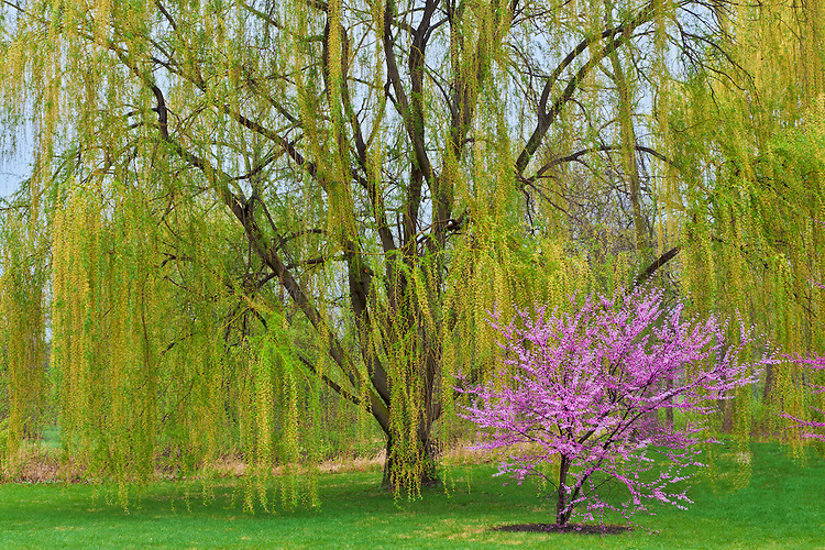 Redbud and Willow trees in Spring color; The Morton Arboretum, IL