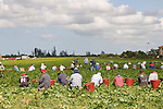 Field workers harvest green beans in Florida City.