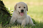 Yellow Labrador retriever (AKC) puppy sitting in shade of a tree