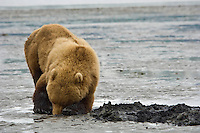 A Grizzly Bear digs for clams in the tidal flats of McNeil Cove at low tide. Summer at McNeil River State Brown Bear Sanctuary in Southwest Alaska.
