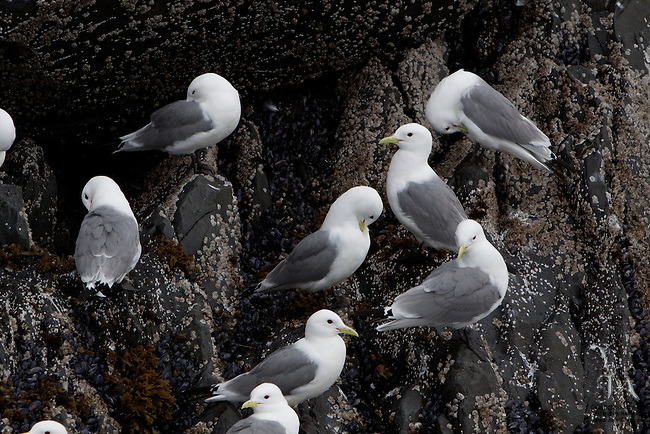 Kittiwake rookery in Whittier, Alaska