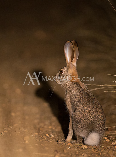 Scrub hares are a common sight during night drives at Mashatu.