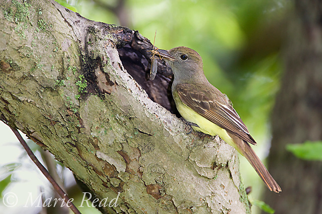 Great Crested Flycatcher (Myiarchus crinitus) bringing insect (Cranefly (Tipula sp.)) to nest hole, New York, USA