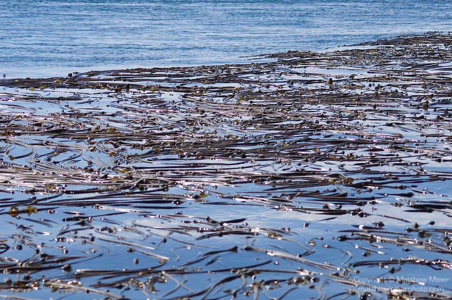 Lime Kiln Point State Park, San Juan Island, Washington; bull kelp (Nereocystis luetkeana) floats at the water's surface off San Juan Island in Puget Sound