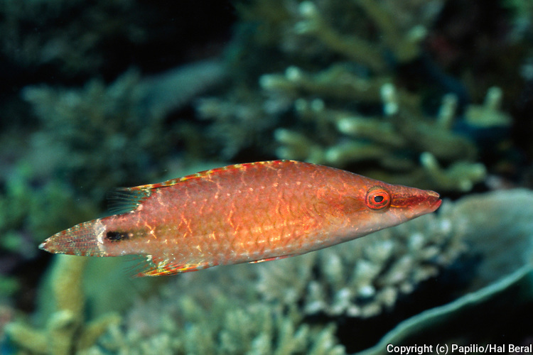Celebes Wrasse.(Oxycheilinus celebicus).Papua New Guinea