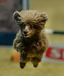 16.12.2016 Olympia The London International Horse Show at Grand Hall Olympia London UK. The Kennel Club Small Dog Agility Final