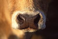 Europe/France/Auvergne/12/Aveyron: Aubrac - Vache de race Aubrac