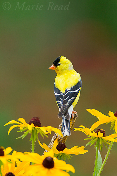 American Goldfinch (Carduelis tristis) male, perched amid Black-eyed Susan (Rudbeckia sp.)  flowers in summer, New York, USA