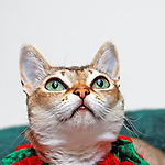 Closeup of Singapura Cat looking up. Very big bright green eyes and large ears typical of this breed. Glimpse of red and green festive collar. Room for copy on neutral light background.  Property release for this pedigreed cat.