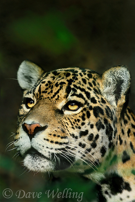 650353001 A Captive Zoo Animal Portrait Of A Federally Endangered Jaguar  Panthera Onca Native To The