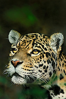 650353001 a captive zoo animal portrait of a federally endangered jaguar panthera onca native to the new world