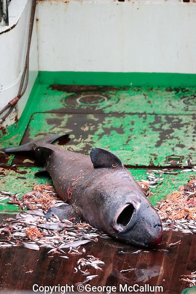 Greenland shark Somniosus microcephalus caught as bycatch in bottom trawl lying on trawl deck Barents sea North Atlantic