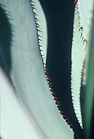 Agave celsii drought tolerant succulent gray foliage leaf