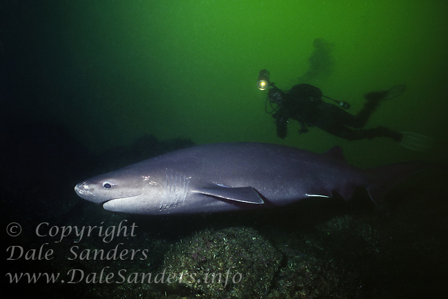 A diver follows a Sixgill shark (Hexanchus griseus) in Barkely Sound, British Columbia, Canada.