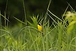 Common Yellowthroat - Male
