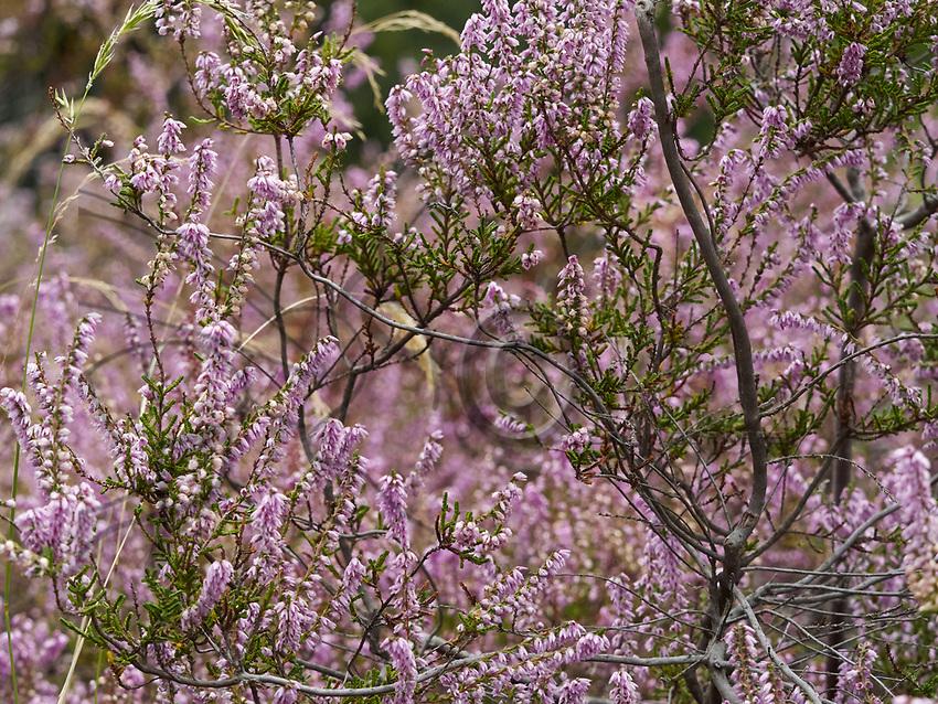 Heather is a source of nectar for the bees. This shrub is robust; it can regenerate after a fire. It is a plant characteristic of moors, bogs and pine forests.<br /> La bruy&egrave;re callune st une source de nectar pour les abeilles. Cette arbrisseau est robuste. Elle  peut se r&eacute;g&eacute;n&eacute;rer apr&egrave;s un incendie. Elle est une plante caract&eacute;ristique des landes, tourbi&egrave;res et pin&egrave;des.