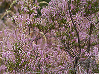 Heather is a source of nectar for the bees. This shrub is robust; it can regenerate after a fire. It is a plant characteristic of moors, bogs and pine forests.<br /> La bruy&egrave;re callune st une source de nectar pour les abeilles. Cette arbrisseau est robuste. Elle  peut se r&eacute;g&eacute;n&eacute;rer apr&egrave;s un incendie. Elle est une plante caract&eacute;ristique des landes, tourbi&egrave;res et pin&egrave;des.