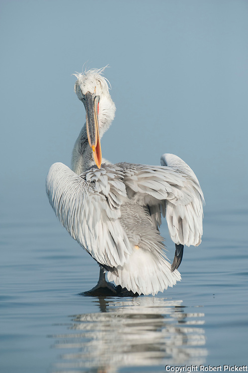 Dalmatian Pelican, Pelecanus crispus, in Breeding Plumage, Kerkini Lake, Greece, Vulnerable IUCN Red List 2007 and on Appendix I of CITES,standing in shallow water, preening cleaning feathers,