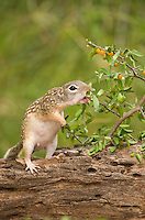 679270052 a wild mexican ground squirrel spermophilus mexicanus reaches for a wild berry for food in the lower rio grande valley of south texas united states